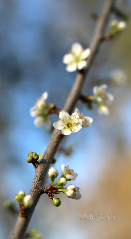 spring buds on a limb